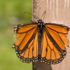 A portrait of an elderly Monarch butterfly with torn wings