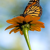 A portrait of a Monarch butterfly feeding on a Mexican Sunflower
