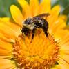 A portrait of a bumblebee on a gaillardia.