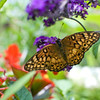 A portrait of a Great-Spangled Fritillary butterfly.