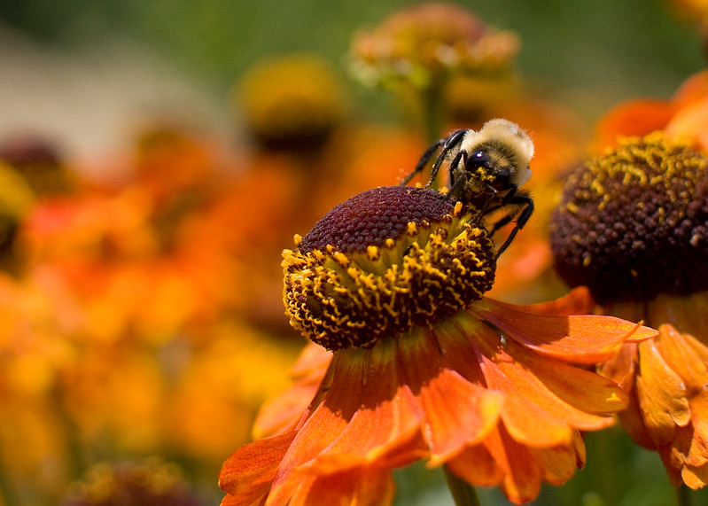 A portrait of a bumblebee on a helenium, aka sneezeweed