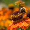A portrait of a bumblebee on a helenium, aka sneezeweed