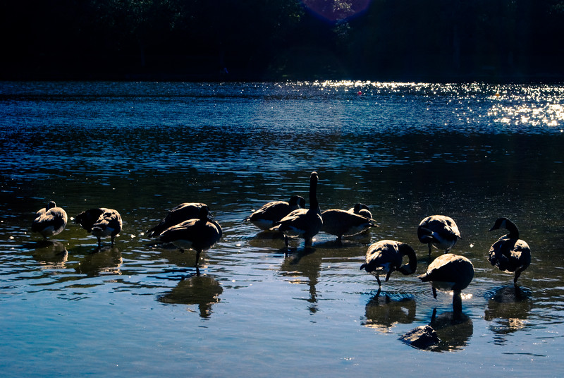 A picturesque view of Canadian Geese at Lake Tomahawk in Black Mountain NC