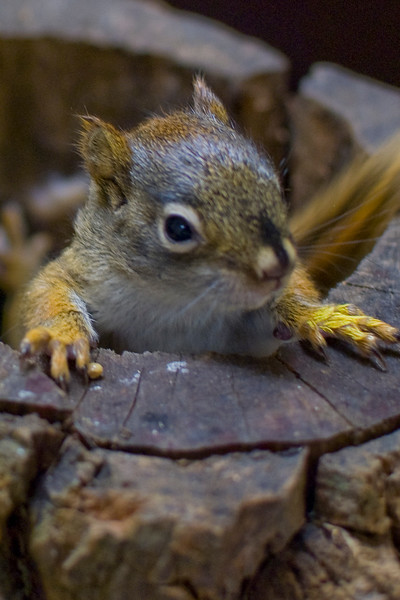 A portrait of a juvenile red squirrel at the Blue Ridge Wildlife Institute at Lees-McRae College in Banner Elk, NC