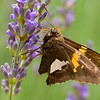 A portrait of a silver-spotted skipper feeding on a lavender flowers.