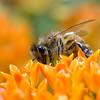 A portrait of a honeybee.