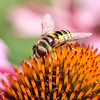 A portrait of a hoverfly on Echinacea