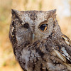 Harley - Grey-Phase Eastern Screech Owl #8