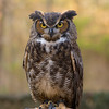 Dudley - Great Horned Owl #9
