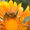 A portrait of a honeybee on a gaillardia.