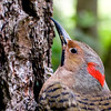 A portrait of Wooka Wooka, a Northern Flicker at the Blue Ridge Wildlife Institute at Lees-McRae College in Banner Elk, NC