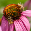 Two honeybees share an Echinacea flower