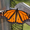 A portrait of a Monarch butterfly.