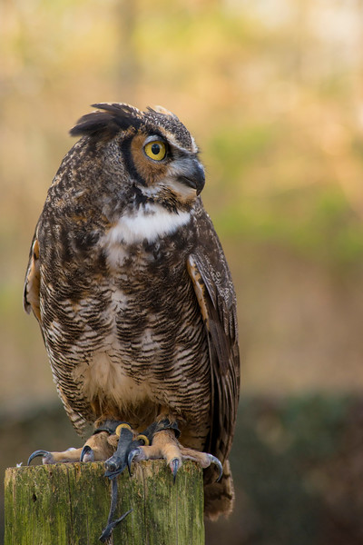 Dudley - Great Horned Owl #8