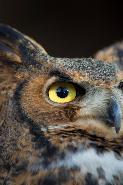 R2 - Great Horned Owl No. 2