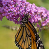 A portrait of a Monarch butterfly.