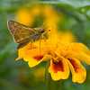 A portrait of a Brown Skipper Butterfly on marigold flowers