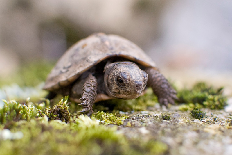 A portrait of a juvenile box turtle at the Blue Ridge Wildlife Institute at Lees-McRae College in Banner Elk, NC