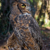 R2 - Great Horned Owl No. 1