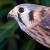 Princess Leia - American Kestrel No. 1