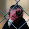 """Jailbird"" - A portrait of a turkey vulture at the Carolina Raptor Center in Charlotte, NC."