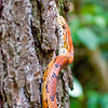 A portrait of Trillium the Corn Snake at the Blue Ridge Wildlife Institute at Lees-McRae College in Banner Elk, NC