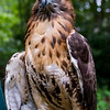 A portrait of Old Lady, a Red-Tailed Hawk at the Blue Ridge Wildlife Institute at Lees-McRae College in Banner Elk, NC