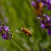 Photograph of a honeybee hovering near lavender flowers.