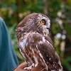 A portrait of Hamlet, a Northern Saw-Whet Owl, at the Blue Ridge Wildlife Institute at Lees-McRae College in Banner Elk, NC