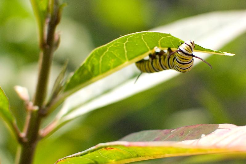 A portrait of a Monarch caterpillar.