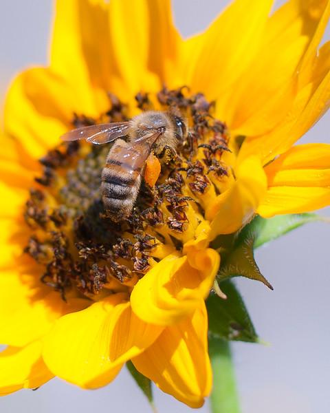 Sunflower and Honeybee #1