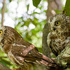 A portrait of Hamlet and Nod, two Saw-Whet Owls, at the Blue Ridge Wildlife Institute at Lees-McRae College in Banner Elk, NC