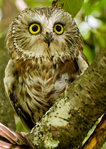 A portrait of Nod, a Saw-Whet Owl, at the Blue Ridge Wildlife Institute at Lees-McRae College in Banner Elk, NC