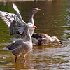 Geese at Lake Tomahawk in Black Mountain, NC