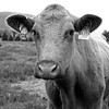 A cow stares at the camera in a photograph taken at Everett Farm in Pisgah Forest, NC