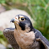 A portrait of Zeus, a Peregrine Falcon at the Blue Ridge Wildlife Institute at Lees-McRae College in Banner Elk, NC