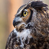 Dudley - Great Horned Owl #1
