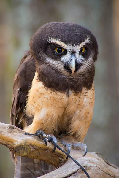 Estrella - Spectacled Owl #3