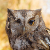Harley - Grey-Phase Eastern Screech Owl No. 8