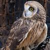 Shiva - Short-Eared Owl #4