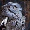 Hermes - Eastern Screech Owl #4