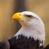 Lady CLT - Bald Eagle #4