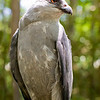A portrait of Lakota, a Mississippi Kite, at the Blue Ridge Wildlife Institute at Lees-McRae College in Banner Elk, NC