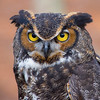 Dudley - Great Horned Owl #5