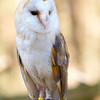 Surrey - British Barn Owl #2