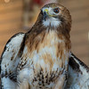 Red-Tailed Hawk No. 8
