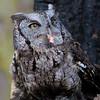 Hermes - Eastern Screech Owl #1