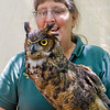 """A portrait of Sasquatch aka """"Sassy"""", a Great Horned Owl at the Blue Ridge Wildlife Institute at Lees-McRae College in Banner Elk, NC"""