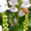 A portrait of a honeybee hovering near flowers