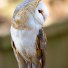 Surrey - British Barn Owl #1